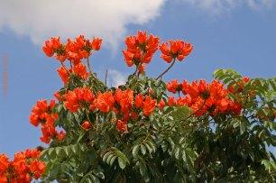 Baumblüte Madeira
